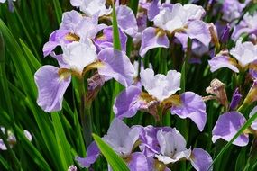 purple iris flower garden
