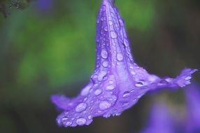purple flower in the rain closeup