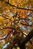 autumn yellow maple tree
