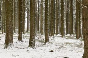 tree trunks in a winter forest