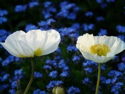 Two white poppy on a background of blue flowers