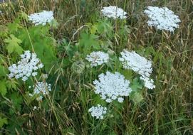 flowers of queen anns lace in the grass