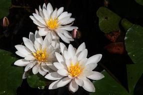 three white water lilies on a pond