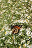 monarch butterfly colorful wings wildlife