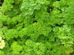 green parsley spice herbs