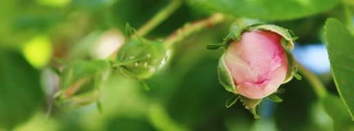 pink and green rose buds