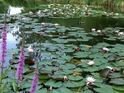 pond with aquatic water lilies