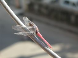 pink dragonfly on a thin branch