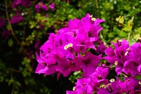 bright pink bougainvillea flowers