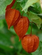 physalis alkekengi on a branch