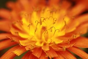 center of orange flower with curled stamens, macro
