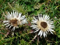 white flowers of the silver thistle