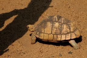 wild brown tortoise