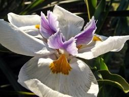 white-purple iris close-up