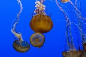 colorful jellyfish nature swimming