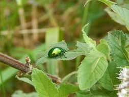 Green beetle in the green forest