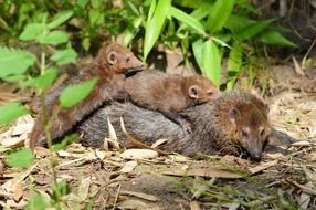 weasel family animals