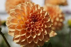 dahlia orange ball flower