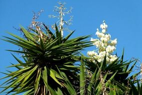 white agave flower on a green bush