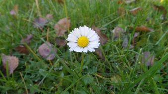White and yellow daisy on the meadow