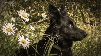 white daisies near a black dog