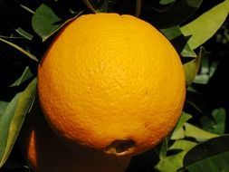 ripe orange fruit on tree