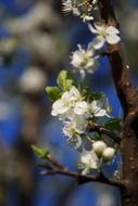 Flowering branch of apple tree close-up
