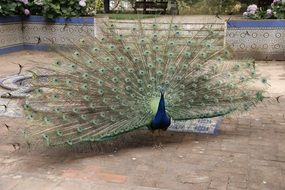 peacock with wide open tail feathers
