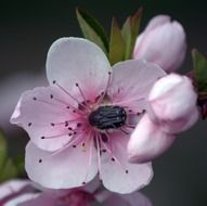 Insects on a peach flower