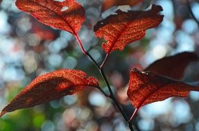 red leaves on a garden tree