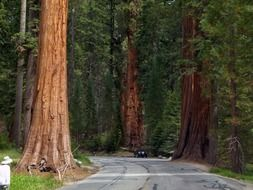 giant sequoia trees at road in national park, usa, california