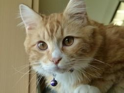 ginger domestic kitten with a collar close-up