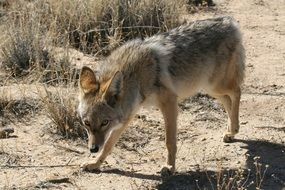 awake coyote predator wildlife