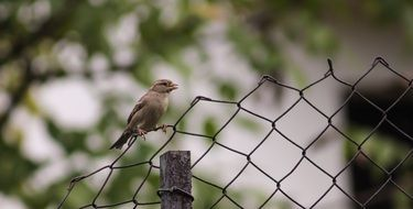 sparrow on a wire fence