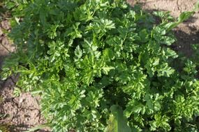 green parsley herbs