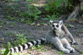 apes ring tailed lemur sitting wilderness