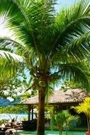 coconut tree palm