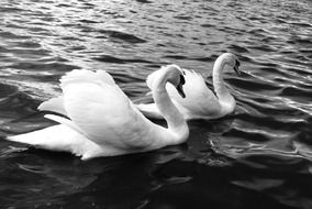 two swans on water, black and white