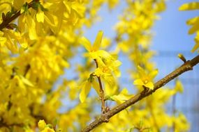 forsythia blossom bloom yellow N4