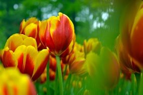 red yellow tulips blooms