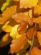 golden leaves of European beech