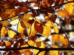 autumn leaves of European beech