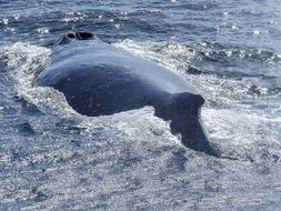 humpback whale back above water