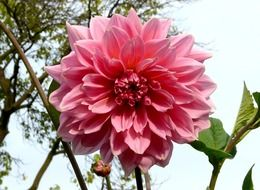 Picture of pink dahlia flower
