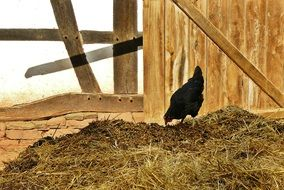 black farm chicken