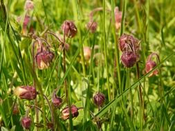 avens on a green meadow