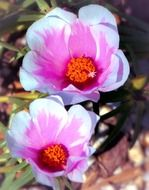 picture of the portulaca flowers