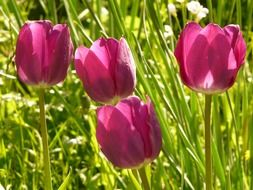 purple tulips among a high grass