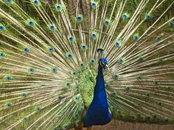 blue peacock with colorful feathers