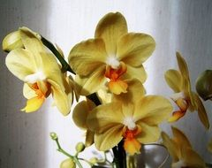 bunch of pale yellow orchids